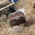 lapins & cochons d'inde